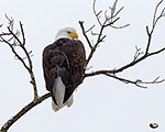 Bald Eagle with tracking antenna, photo by Steve Davis