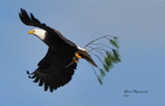 Bald Eagle carrying branch, photo by Gloria Wagenknecht