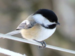 Black-capped Chickadee, photo by Pat Cocot