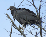 Black Vulture, photo © Pat Cocot