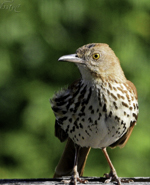 Brown Thrasher, photo by Gary Cormier