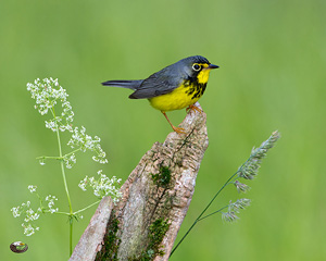 Canada Warbler, photo by Steve Davis