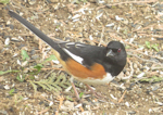 Eastern Towhee, photo © Mary Collier