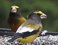 Evening Grosbeaks, photo by Rick Bunting