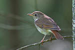 Hermit Thrush, photo by Gene McGarry