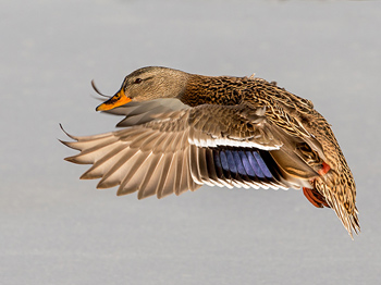 EFemale Mallard in flight, photo by Steve Davis
