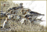 Snow Buntings, photo by Mary Collier