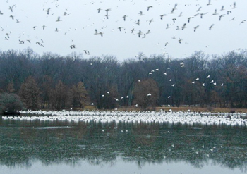Snow Geese at Fancher Davidge Park, photo by Scott Baldinger