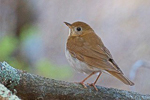 Veery, photo by Gene McGarry
