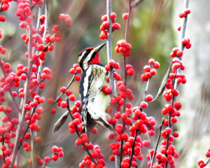 Yellow-bellied Sapsucker on Winterberry, photo by Rick Bunting