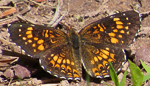 Harris' Checkerspot, photo by Mary Collier