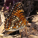 Harris' Checkerspot Underwing, photo by Mary Collier