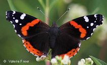 Red Admiral, photo by Valerie Freer