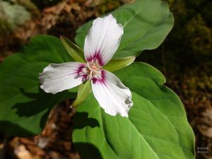 Painted Trillium, photo by Brent McKeon